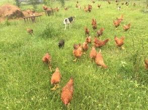 Laughing Frog Farm's Freedom Ranger Chickens